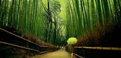Reflexión con el crecimiento del bambú japonés